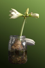 Time_Serie_#2_002_extracted (LC.image) Tags: amaryllis white blanc fleurs flower