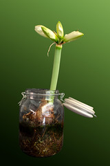 Time_Serie_#2_001_extracted (LC.image) Tags: amaryllis white blanc fleurs flower
