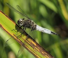 Scarce Chaser (Libellula fulva) Male (Rezamink) Tags: libellulafulva scarcechaser dragonflies odonata uk