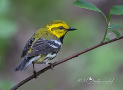 Black-throated Green Warbler (Bill McDonald 2016) Tags: blackthroatedgreenwarbler northernontario wildlife photography avian songbird boreal perched perching ontario canada billmcdonald canon spring 2019 june