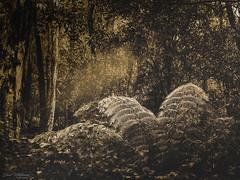 Fern Grove (Dave Whiteman - AU) Tags: megalongvalley rsl2019megalongvalley lightbeams fern rainforest ferngrove