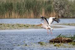 Great white pelican taking off, Danube Delta (fernechino) Tags: danubedelta romania birds whitepelicans