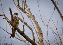 Eurasian hobby, Danube Delta (fernechino) Tags: danubedelta eurasianhobby romania birds