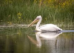 Dalmatian pelican, Danube Delta (fernechino) Tags: dalmatianpelican danubedelta romania birds