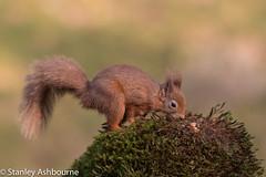 Red Squirrel (stanley.ashbourne) Tags: redsquirrel scotland nature wildlife stanashbourne wildlifephotography