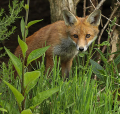 Fox cub (waynehavenhand1) Tags: nature wildlife animal vulpesvulpes cub fox