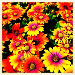 Colourful Cape Daisies (Julie (thanks for 9 million views)) Tags: 100xthe2019edition 100x2019 image67100 iphonese countrylife glanbia flower capedaisy osteospermum plant bright summer gardencentre hipstamaticapp sliderssunday postprocessing newross ireland irish wexford hss
