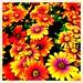 Colourful Cape Daisies