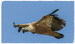 Griffon Vulture with full crop - (Gyps fulvus) Best viewed large (hunt.keith27) Tags: gypsfulvus griffonvulture griffon vulture spain nesting soaring huge wingspan raptor carrion cliffs thermals colonies outdoor animal bird extramedura canon crop eos7dmk2