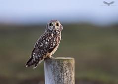 Short-eared owl (Andy Davis Photography) Tags: asioflammeus shortearedowl owl perched spring earlymorning outerhebrides canon