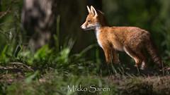 Fox cub (Mikko Sarén) Tags: finland tuusula mikkosaren kettu fox foxcub ketunpentu