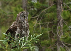 Great Gray Owl...#22 (Guy Lichter Photography - 5.1M views Thank you) Tags: canon 5d3 canada alberta wildlife animal animals bird birds owl owls greatgrayowl