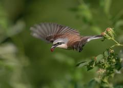 Red-backed Shrike (male) (hardy-gjK) Tags: bird oiseau vogel rotrückenwürger würger neuntöter prey beute food nahrung wildlife animal tier hardy nikon flug flight