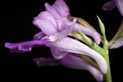 [Hirado Is., Nagasaki, Japan / 長崎県平戸島] Ponerorchis graminifolia fma. rubra '#3085' Rchb.f., Linnaea 25: 228 (1852) (sunoochi) Tags: hiradois japan nagasaki ponerorchis anggrek botany flowers graminifolia green nature orchid orchidlover orchidspecies orchids orquideas plantmorphology plants rubra species クロシオチドリ グラミニフォリア ポネローチス ラン ルブラ 平戸島 植物 濃色 蘭 長崎県