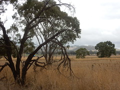 Lingering Summer (mikecogh) Tags: myponga fields dry grass trees landscape geography branches dead