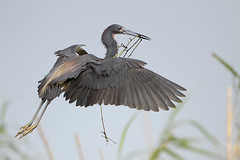 Tricolored Heron (Greg Lavaty Photography) Tags: tricoloredheron egrettatricolor texas june anahuac nationalwildliferefuge chamberscounty birdphotography outdoors bird nature wildlife