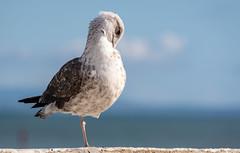 Seagull (Bela Lindtner) Tags: cascais lisboaregion portugal portugália lindtnerbéla belalindtner nikon d7100 nikond7100 nikkor 55300 nikkor55300 nikon55300 outdoor outside sky bluesky clouds seagull bird