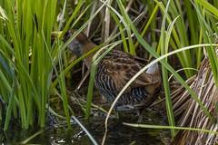 IMG_4888 sora (starc283) Tags: bird birding birds nature natures finest watcher canon colorado flickr flicker flora starc283 waterfowl naturesfinest naturewatcher