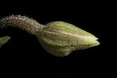 [Eurasia] Epipactis palustris (L.) Crantz, Stirp. Austr. Fasc., ed. 2, 2: 463 (1769) (sunoochi) Tags: epipactis eurasia anggrek botany flowers green nature orchid orchidlover orchidspecies orchids orquideas palustris plantmorphology plants species エピパクティス パルストリス ラン 植物 蘭