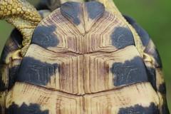 Wood Turtle Plastron (corey.raimond) Tags: glyptemys insculpta glyptemysinsculpta wood woodturtle turtle wisconsin animal wildlife endangered threatened reptile plastron clemmys clemmysinsculpta shell fauna
