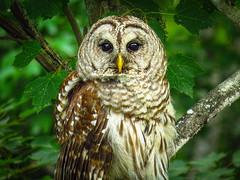 Barred Owl IMG_1910 (bill.niven) Tags: barredowl owl