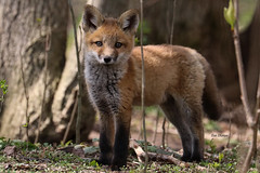 Red Fox Kit (stitchersue) Tags: fox kit redfox curiosity den kawarthalakes ontario canada