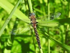 Beaverpond Baskettail (d_taron) Tags: unitedstates maine dragonflies odonata anisoptera corduliidae epitheca epithecacanis