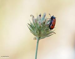 Natura (Salvamat.) Tags: natura insecto flora sierrademariola primavera parquenaturalsierrademariola ecosistemas medioambiente macrophotography macro olympus