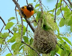 Baltimore Oriole Dad at the nest (Meryl Raddatz) Tags: bird baltimoreoriole nature naturephotography canada nest wildlife