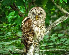 Barred Owl IMG_1817 (bill.niven) Tags: barredowl owl