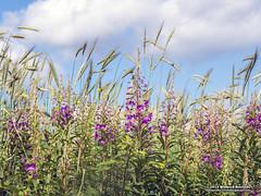 Nature (Roelofs fotografie) Tags: wilfred roelofs fotografie nikon d5600 nature green grass flower flowers color air sky cozy outdoor 2019 dutch holland neterlands