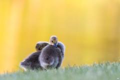 ''Les inséparables!'' Bernache du canada-Canada goose (pascaleforest) Tags: oiseau bird animal passion nikon nature wild wildlife faune québec canada bébé