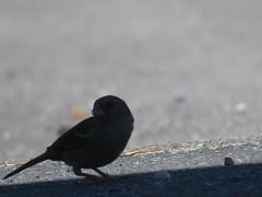 IMG_6365 (jesust793) Tags: pájaros birds naturaleza nature