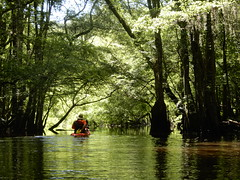 Edito River (Just Back) Tags: river oxbow gut quiet birds fungi biology float man kayak summer shade orchid cypress gum ash fraxinus taxodium eripdendrum onoclea hypericum nyssa bark tree forest wetland shine sun bright dark carolina sc