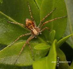 Crab Spider (John Chorley) Tags: spider spiders crabspider nature johnchorley 2019 macro macros macrophotography closeups closeup