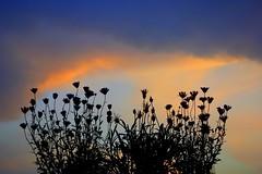 sky (majka44) Tags: sky flower silhouette nature light sunset evening 2019 blue orange