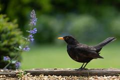 Sunday Blackbird (jillyspoon) Tags: blackbirds birdwatching birdphotography garden gardenbird gardens harrogate harlowcarrgardens beak dof sony sonya7iii sonyalpha tame friendly northyorkshire therhs
