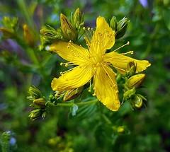 (claudine6677) Tags: blüten gräser kräuter unkraut gelb blumen flower weed yellow garden meadow
