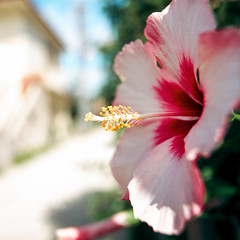 hibiskus (mathias-erhart) Tags: hasselblad japan 日本 okinawa 沖縄県 taketomijima 竹富島 flower blossom plant hibiskus dof film ektar100