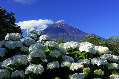 Mt.Fuji & hydrangea (ULTRA Tama) Tags: world macro art heritage japan photography photo flickr fuji photographer natural decay estrellas celebrities pure shizuoka brilliant todays mtfuji worldheritage photogenic 2019 traveljapan flickrfriday flickrheroes flickrelite artofimages flickrunitedaward dayliphoto radiof canonflickraward ftimes instadaily worldcaptures igjapan explorejapan loversnippon genicmag genictravel mtfujiwhc geniclife genicblue genicjapan genicphoto genictown genicsummer tabijyosummer tabijyomaptwn tabijyotravel tabijyo retripjapan retripshizuoka
