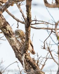 Vietnam Birding - Cheepers Birding on a Budget Tour (novosad/photography/art) Tags: vietnam bird birding owl