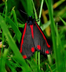 Cinnabar Moth (Maria .... on here to learn and be inspired.) Tags: cinnabarmoth moth black red nature garden