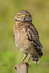 The Burrowing Owl (Athene cunicularia). (Kristian Ohlsson) Tags: birds owls wildlife bird cape coral miami florida nikonkrille kristianohlssonphotography iamnikon nikon d500 z7 z6 200500