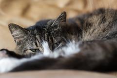 Sleepy (Paulie-W) Tags: pet cat feline sleepycat home