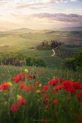 Tuscan poppies (visnuh) Tags: canoneos5dmarkiv canonef1635f28liii italia italy toscana tuscany poderebelvedere sunrise amanecer primavera springtime spring amapolas poppies