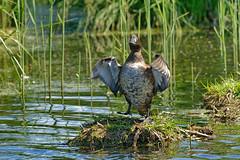 Хохлатая чернеть, Aythya fuligula, Tufted Duck (Oleg Nomad) Tags: хохлатаячернеть aythyafuligula tuftedduck птицы москва bird aves moscow