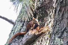 Écureuil 🌞 (mimavex) Tags: mammifere hot beautiful soleil été printemps écureuil