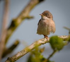 Common whitethroat (David Brooker) Tags: sylvia communis common whitthroat bird warbler