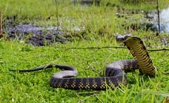 Snake in the grass (Dan Bromley Photography) Tags: australia ausgeo canon tiger perth reptiles herping