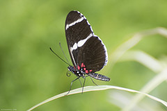 Butterfly 2019-58 (michaelramsdell1967) Tags: butterfly butterflies macro nature animal animals insect insects green bokeh black red white stripe plant beauty beautiful detail delicate vivid vibrant colorful upclose closeup pretty lovely garden spring fragile zen